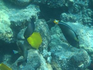 Orange Spined Tang, Yellow Tang, Brown Surgeonfish, and Yellowbar Parrotfish